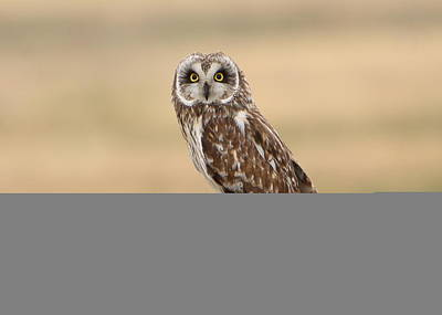 Photograph - Short Eared Owl by David Andersen