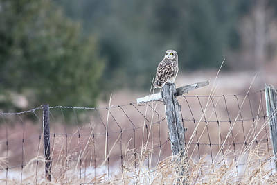Photograph - Short-eared Owl by Gary Hall