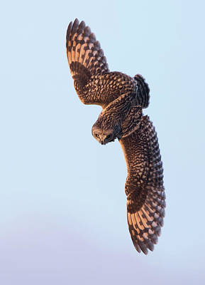Photograph - Short-eared Owl Going In For The Kill by Peter Walkden
