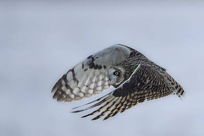 Bif Photograph - Short Eared Owl - Graceful by Jestephotography Ltd