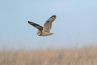 Photograph - Short-eared Owl Hunts by Peter Walkden