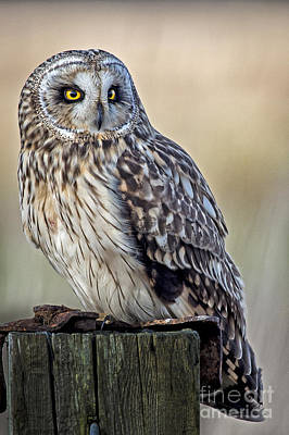 Photograph - Short Eared Owl On A Post by Sonya Lang