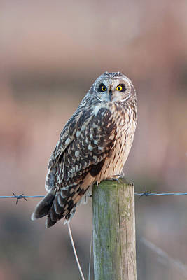 Photograph - Short-eared Owl On Post by Peter Walkden