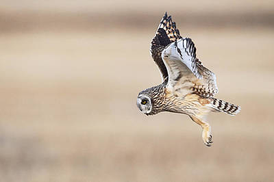 Open Impressionism California Desert - Short Eared Owl - Prowl by Jestephotography Ltd