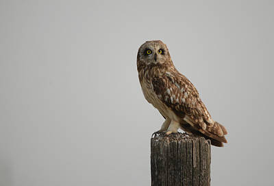 Photograph - Short Eared Owl by Whispering Peaks Photography