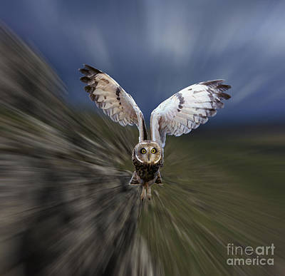 Photograph - Short-eared Owl Zooming by Warren Photographic