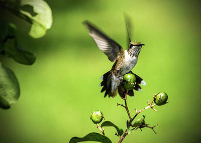 Photograph - Short Field Landing - Hummingbird by Barry Jones