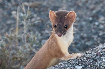Photograph - Short Tailed Weasel by Steve Stuller