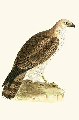Lovers Art Drawing - Short Toed Eagle by English School