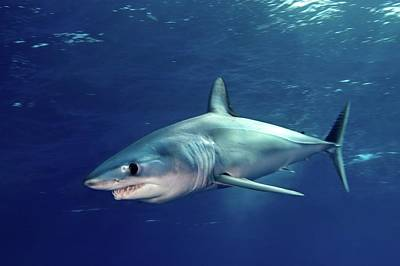 Undersea Photograph - Shortfin Mako Sharks by James R.D. Scott