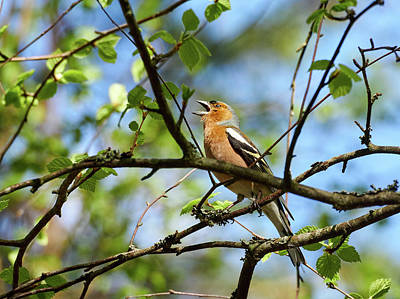 Photograph - Shout It Out Loud. Common Chaffinch by Jouko Lehto