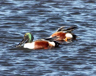 Photograph - Shoveler Duck 1 by Captain Debbie Ritter