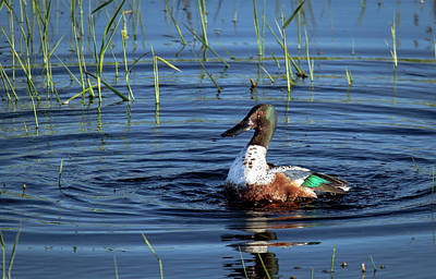 Photograph - Shoveler by Jean Noren