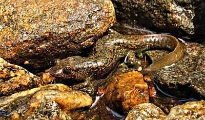 Photograph - Shovelnose Salamander by Joshua Bales