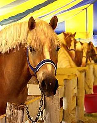 Photograph - Show Pony Tent- Haflinger Horses by Connie Moses