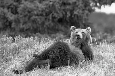 Photograph - Showboat Grizzly Black And White by Adam Jewell