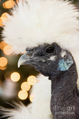 Photograph - Showgirl A.k.a. Naked Neck Silkies by Jeannette Hunt