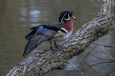 Photograph - Showing Off My Colours by Gary Hall