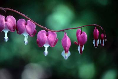 Showy Bleeding Hearts  Art Print by Laurie Paci