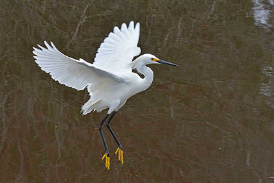 Photograph - Showy Egret Suspended Annimation by Alan Lenk