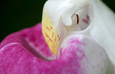 Photograph - Showy Ladyslipper Up Close And Personal by Larry Ricker