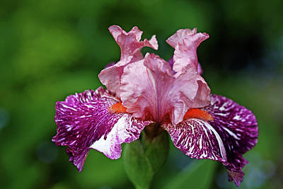 Photograph - Showy Love Iris by Debbie Oppermann