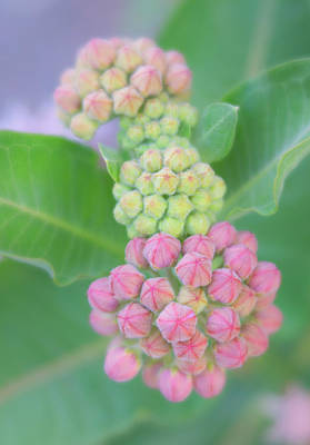 Photograph - Showy Milkweed Flower Buds by Barbara Rogers Nature Inspired Art Photography