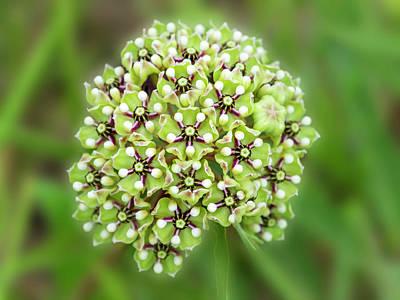 Photograph - Showy Milkweed Of Texas. by Usha Peddamatham