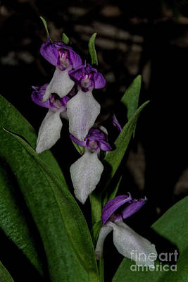 Photograph - Showy Orchid by Barbara Bowen