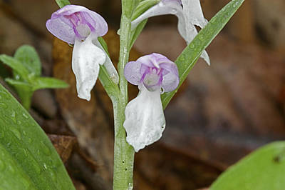 Photograph - Showy Orchis by Jack R Perry