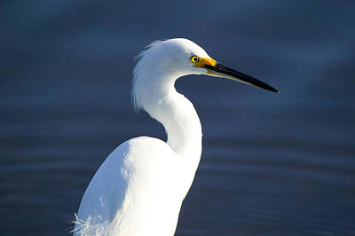 Photograph - Showy Snowy Egret by Rich Franco