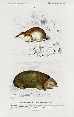Painting - Shrew And Golden Mole by Charles Dessalines D' Orbigny