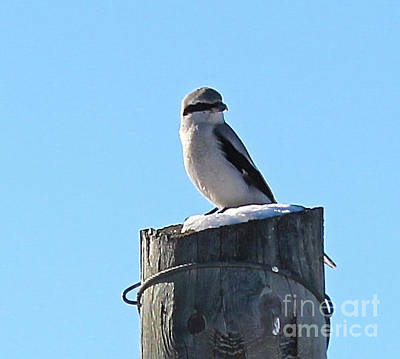 Photograph - Shrike by Ann E Robson