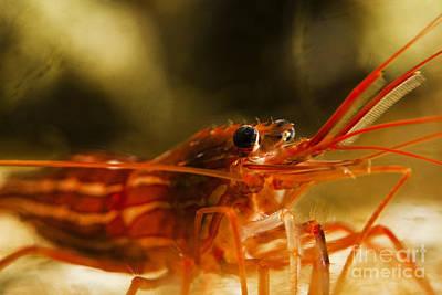 Photograph - Shrimp by Gunnar Orn Arnason