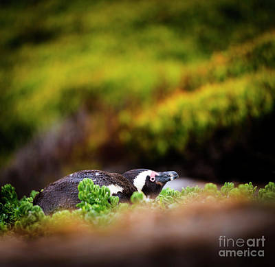 Photograph - Shy African Penguin by Tim Hester