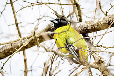 Photograph - Shy Audubon's Oriole At Salineno Preserve In South Texas by Debra Martz