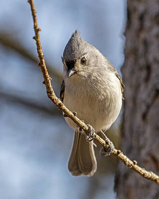 Tufted Titmouse Photograph - Shy Bird by Pat Eisenberger