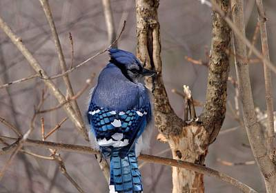 Photograph - Shy Blue Jay  by David Porteus
