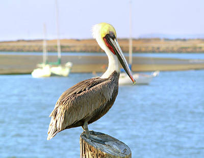 Photograph - Shy Brown Pelican by Haleh Mahbod