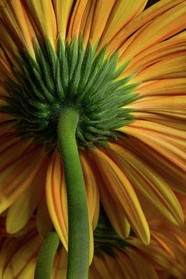 Photograph - Shy Daisies by Bob Cournoyer