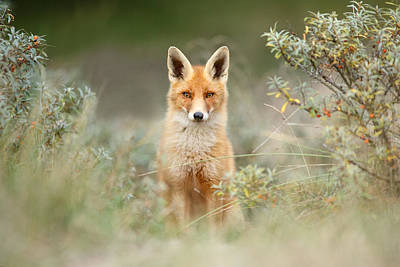 Shy Fox - Red Fox Hiding Behind The Bushes Art Print by Roeselien Raimond