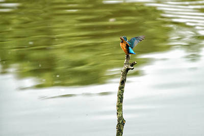 Photograph -  Shy Kingfisher  by Darren Wilkes