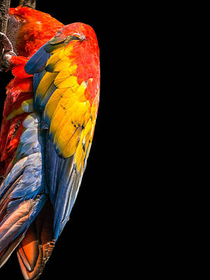 Shy Macaw Art Print by Rob Amend