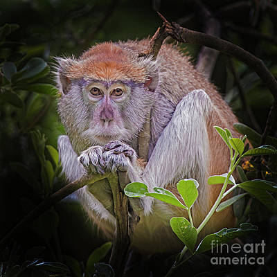 Photograph - Shy Patas Monkey by Sonya Lang