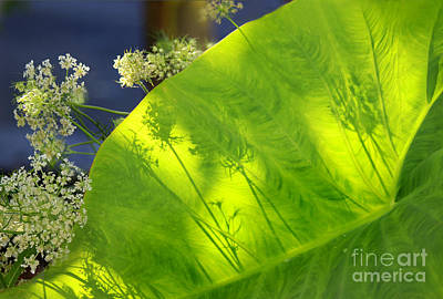 Photograph - Shy Queen Annes Lace by Karen Adams