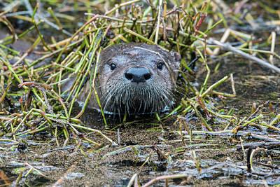 Photograph - Shy River Otter by Liza Eckardt