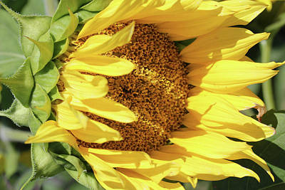 Photograph - Shy Sunflower by Mary Bedy