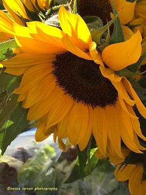 Photograph - Shy Sunflower by Nance Larson