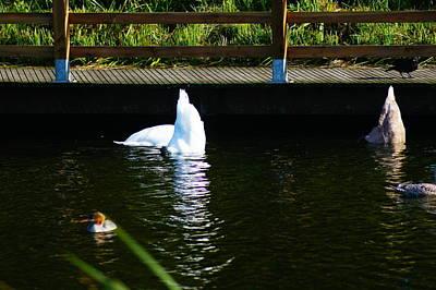 Photograph - Shy Swans by Nik Watt