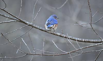 Photograph - Sialia Sialis - Eastern Bluebird by rd Erickson
